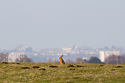 Brown hare above Poole Harbour. Isle of Purbeck, Dorset, UK.