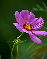 Cosmos flower. Image taken with a Leica SL2 camera and Sigma 100-400 mm lens