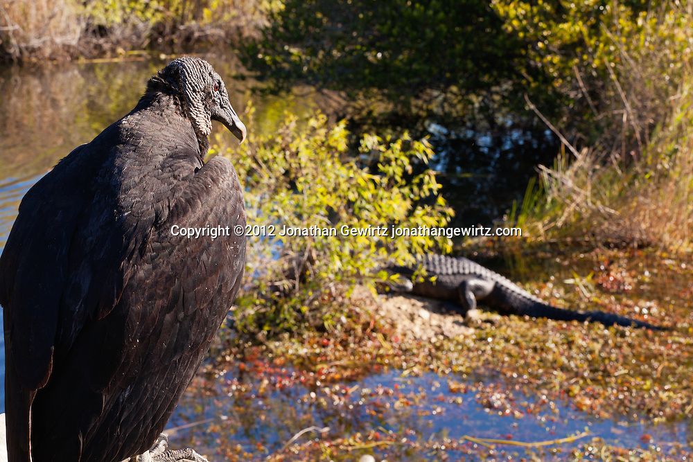 An American Black Vulture (Coragyps atratus) watches basking American alligators (Alligator mississippiensis) in the marshy part of a pond, part of Taylor Slough, near the Anhinga Trail in Everglades National Park, Florida. WATERMARKS WILL NOT APPEAR ON PRINTS OR LICENSED IMAGES.