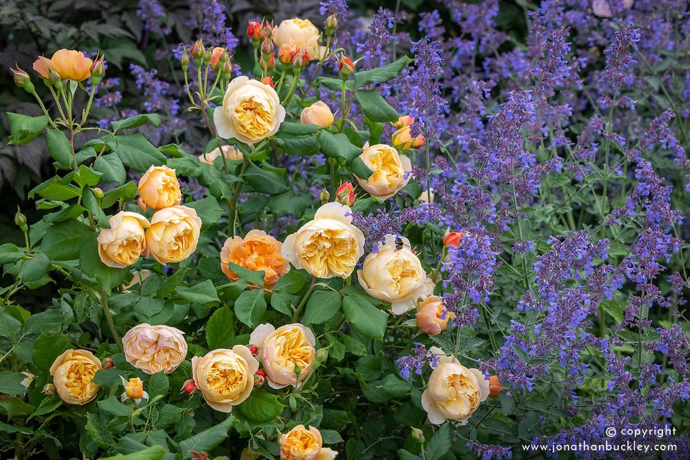 Rosa 'Roald Dahl' with nepeta