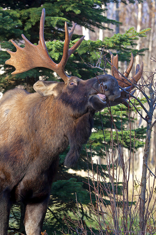 Alaska. Funny shot of bull moose (Alces alces) snacking on willow shrubs, Anchorage.