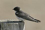Pearl-breasted Swallow juvenile, Hirundo dimidiata, De Hoop Nature Reserve, Western Cape, South Africa