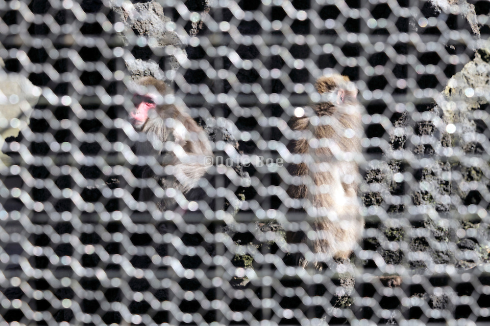 monkeys behind a chain link fence