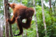 A juvenile orangutan ( Pongo pygmaeus ) stands perpendicular from a tree using his powerfully strong back legs, Borneo, Indonesia