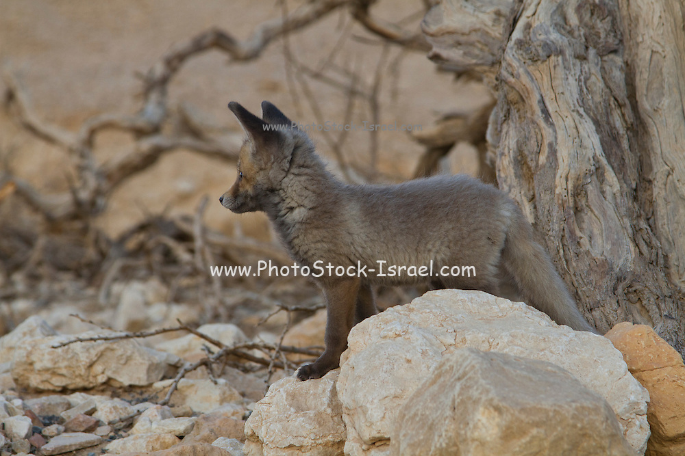 Juvenile Red Fox (Vulpes vulpes). The Red Fox is the largest of the true foxes, as well as being the most geographically spread member of the Carnivora, being distributed across the entire northern hemisphere from the Arctic Circle to North Africa, Central America, and the steppes of Asia. Photographed in Israel, Negev Desert