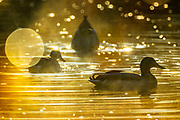 Three mallard ducks (Anas platyrhynchos) feed and rest on the water of Ronald Bog in Shoreline, Washington, on a foggy morning.
