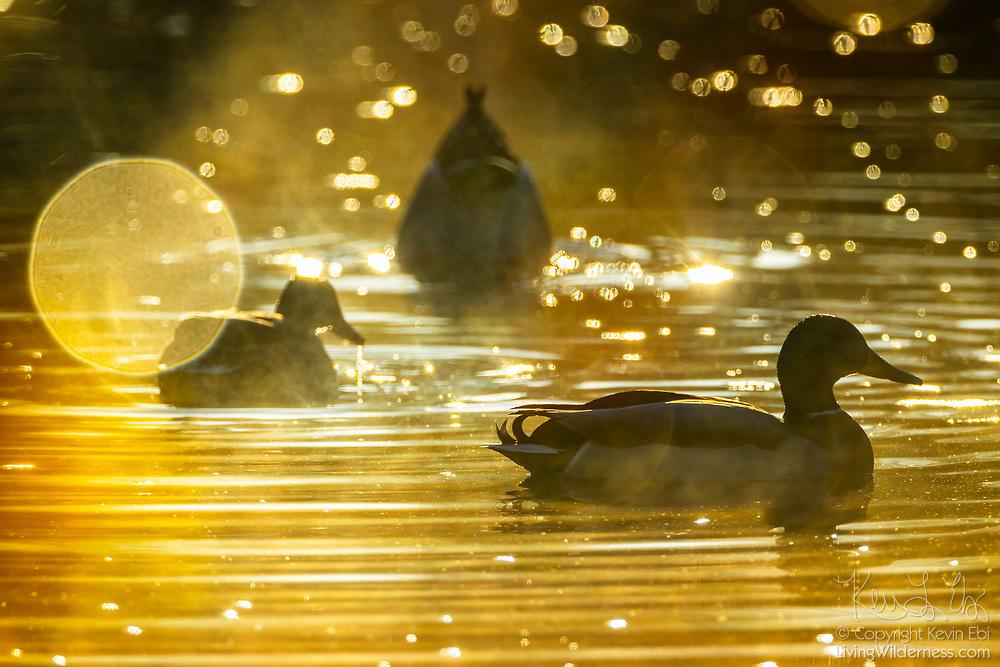 Three mallard ducks (Anas platyrhynchos) feed and rest on the water of Ronald Bog in Shoreline, Washington, on a foggy morning.