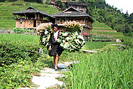 An ethnic woman carries big bundle of vegetables. Area of Ping'an, Guangxi, China, Asia. Traditional stilt houses in background.