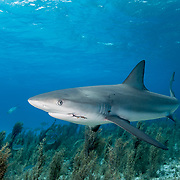Caribbean reef shark (Carcharhinus perezi) with a fishing hook left in her mouth. Image made in The Bahamas.