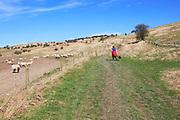 Woman walking dog on lead past sheep, Cherhill Downs, Wiltshire, England, UK