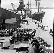 Horses load on City of Waterford for export..21.04.1961