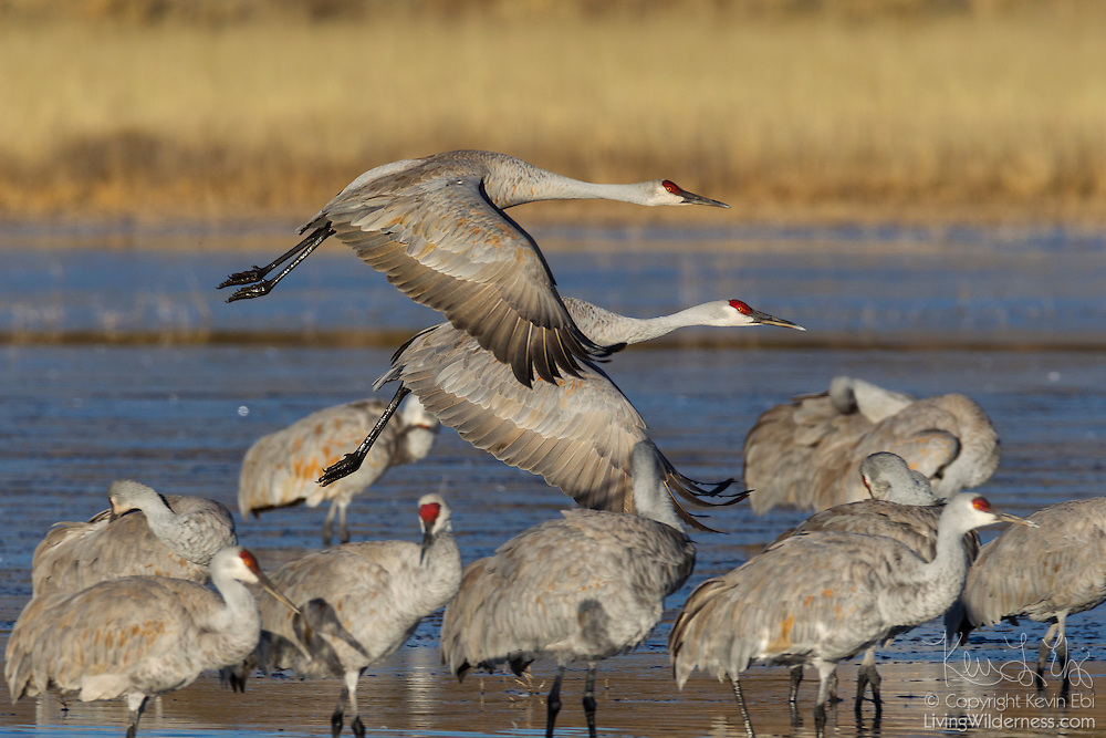 A pair of sandhill cranes (Grus canadensis) take off from a pond in the Bosque del Apache National Wildlife Refuge in New Mexico as other cranes continue to preen.