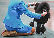 A handler shows her Toy Poodle during the Seattle Kennel Club Dog Show, Sunday, March 13, 2016. The show featured 1,400 dogs and 169 different breeds.