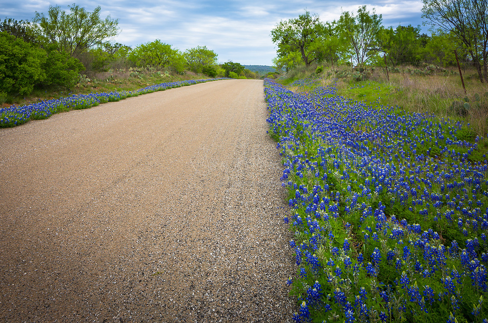 Bluebonnets lining a road near Llano, Texas