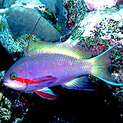 Inhabit reefs. Picture taken Vanuatu.