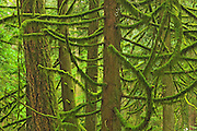 Old growth in coastal temperate rain forest <br />