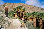 Barrel Cactus and Ocotillo in bloom at Mountain Palm Springs, Anza-Borrego Desert State Park, California