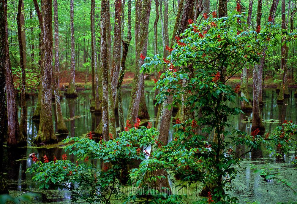 Buckeye near cypress swamp - Mississippi.