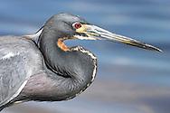 Adult Tri-colored Heron - Egretta tricolor- Breeding Plumage