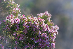 Calytrix extipulata, or turkey bush, growing on Silica Beach.