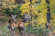 Hirsche und Gämsen an einem Herbstabend im Aletschwald