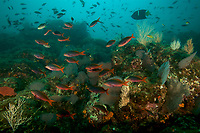 """Pacific Creolefish (Paranthias colonus) in foreground, King Angelfish (Holacanthus passer) in upper right, and other fish species crowd the rich reef on a rich seamount.<br /><br />Coiba Island<br />Coiba National Park, Panama<br />Tropical Eastern Pacific Ocean<br /><br />""""Twin Peaks"""" dive site"""
