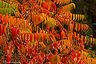 Sumac tree in autumn color in Whitefish, Montana, USA