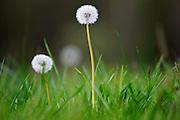 Dandelions, England