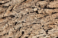 Tamarisk tree bark (Tamarix articulata), close-up.