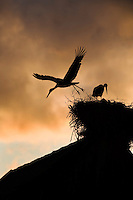 White stork (Ciconia ciconia) pair silhouetted at nest on old building. Rusne, Lithuania. Mission: Lithuania, June 2009