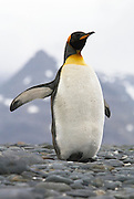 King Penguin in South Georgia is stretching and throwing back its wings. This photo is from a series of photos showing a King penguin in several different poses showing preening stretching and twisting poses.