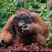 Orang-utan (Pongo pygmaeus) large male at feeding station. Tanjung Puting National Park. Borneo