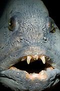 Wolf-fish (Anarhichas lupus)