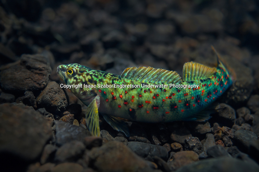 Caney Fork Darter<br /> <br /> Isaac Szabo/Engbretson Underwater Photography