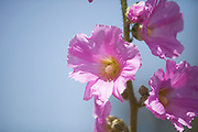Bristly Hollyhock (Alcea setosa) with pink flowers.
