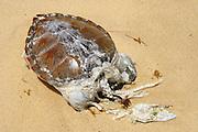 Caraiva_BA, Brasil...Praia do Espelho em Caraiva, regiao sul da Bahia. Na foto uma tartaruga morta...The Espelho beach in Caraiva, the south region in Bahia. In this photo a dead turtle...Foto: LEO DRUMOND / NITRO