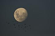 Bats and Moon - Tasmania