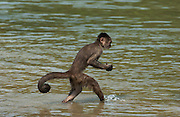 White-fronted capuchin monkey in river looking for food. (Cebus albifrons) WILD MONKEY FORMING PART OF A TROOP LIVING IN THE JUNGLE TOWN OF PUERTO MISAHUALLI<br /> Puerto Misahualli, Amazon rain forest, ECUADOR, South America<br /> RANGE: Isolated areas in N Colobia, Venezuela and coastal Ecuador; and middle and upper Amazon Basin of Colombia, Venezuela, Ecuador, Peru, Bolivia and Brazil - west of Rios negro and Tapajóz.<br /> These are diurnal monkeys with prehensile tails. They live at all levels of the forest, including the ground and feed on fruit, seeds and anthropods. They live in large troops.[#Beginning of Shooting Data Section]<br /> Nikon D70<br /> Focal Length: 70mm<br /> Optimize Image: Custom<br /> Color Mode: Mode II (Adobe RGB)<br /> Noise Reduction: OFF<br /> 2005/01/22 10:15:26.1<br /> Exposure Mode: Aperture Priority<br /> White Balance: Cloudy<br /> Tone Comp: Normal<br /> RAW (12-bit) Lossless<br /> Metering Mode: Multi-Pattern<br /> AF Mode: AF-C<br /> Hue Adjustment: 0°<br /> Image Size:  Large (2000 x 3008)<br /> 1/125 sec - F/4.5<br /> Flash Sync Mode: Slow Sync<br /> Saturation:  Normal<br /> Exposure Comp.: -0.3 EV<br /> Auto Flash Mode: Built-in TTL<br /> Sharpening: None<br /> Lens: 35-70mm F/2.8 D<br /> Sensitivity: ISO 400<br /> Auto Flash Comp: -2.7 EV<br /> Image Comment:                                     <br /> [#End of Shooting Data Section]