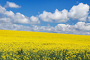 field of canola crop on hill under cumulus clouds at Woodstock, New South Wales, Australia <br />