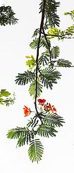 Royal Poinciana Tree Delonix Regia #001