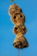 Nest of weaver birds  Photographed at Serengeti National Park, Tanzania with blue sky background