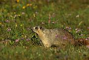 a hoary marmot (Marmota caligata) in an alpime meadow. Glacier National Park, Montana