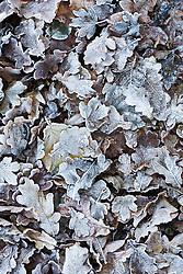 Hoar frost on fallen leaves