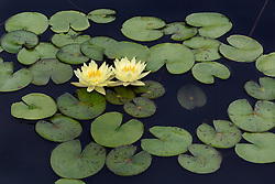 Water Lily, yellow, #4