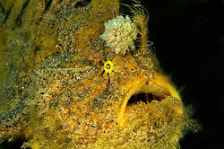 Antennarius hispidus, Zottiger Anglerfisch mit grosser Esca, Kroetenfisch, Shaggy anglerfish with large Esca, frogfish, Secret Bay, Gilimanuk, Bali, Indonesien, Indopazifik, Indonesia, Asien, Indo-Pacific Ocean, Asia