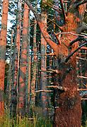 Bishop Pine with Sunset Glow, Phillip Burton Wilderness, Point Reyes National Seashore, California
