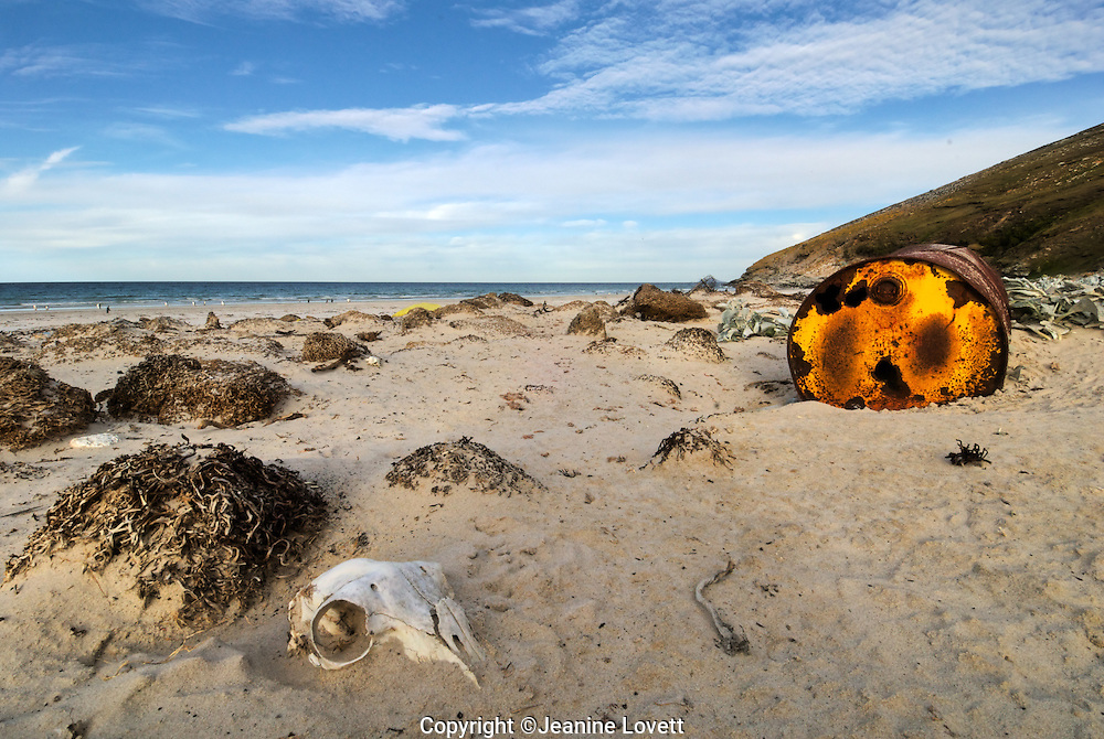 A prestine beach in the Falklands Islands sits a rusted oil can left behind by man, skull in the sand near the can says it all.