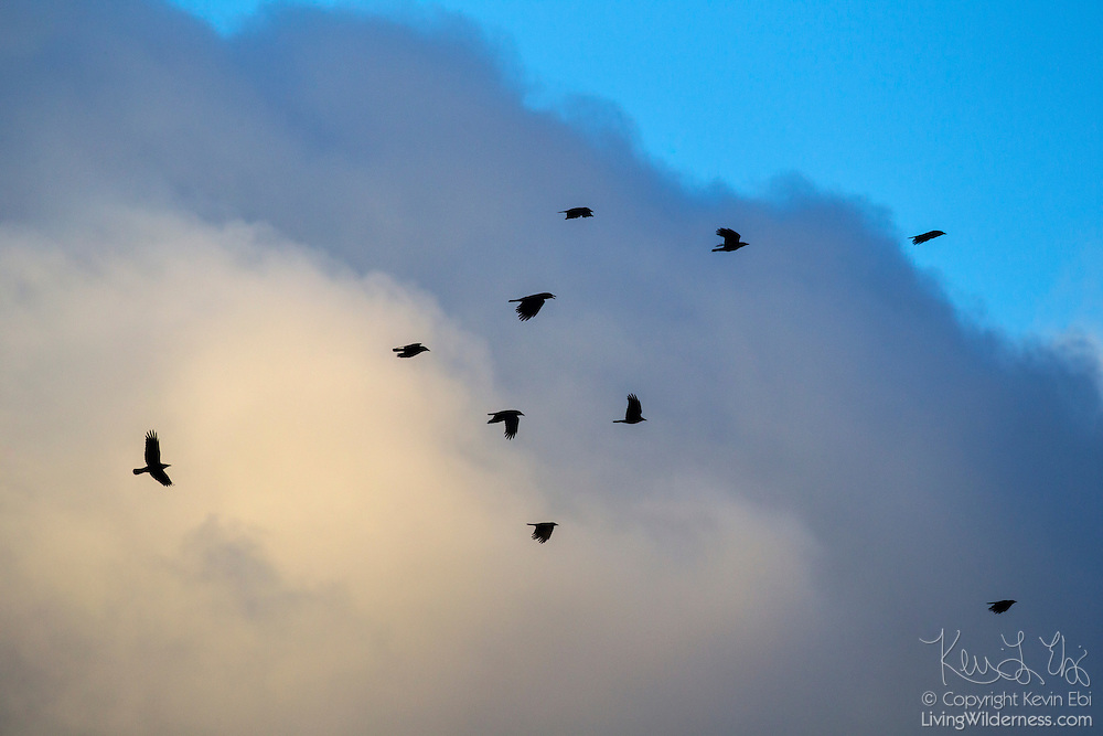 Ten American crows (Corvus brachyrhynchos) fly past a stormy cumulonimbus cloud over Bothell, Washington.