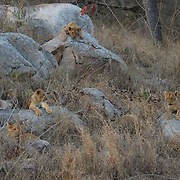 Young African lion cubs resting on rocks. South Africa.