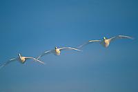 Three whooper swans (Cygnus cygnus) flying in a clear blue sky.